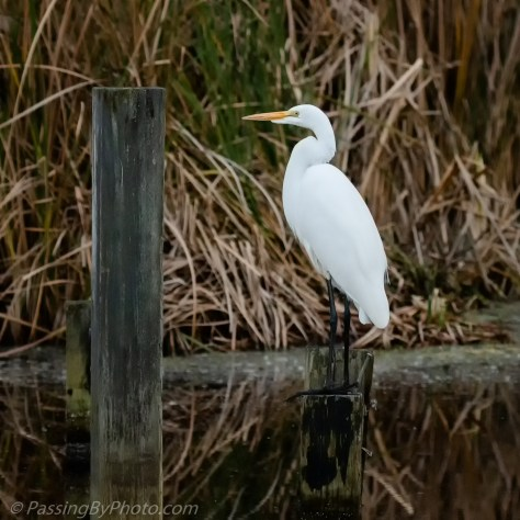 Great Egret on a Post