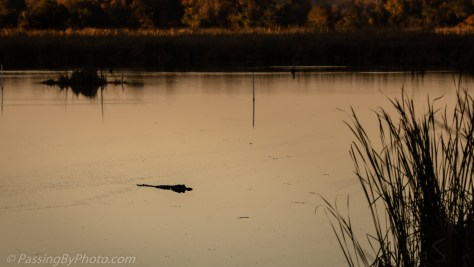Looking over the pond, Alligator near Sunset