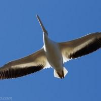 American White Pelican, Bottom View