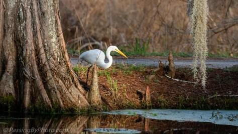 Great Egret at Pond Edge