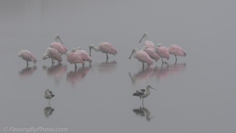 Spoonbills and Avocets