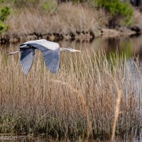 Great Blue Heron Flying Over Canal