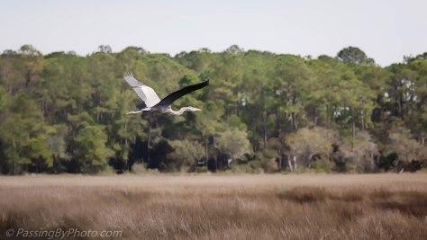 Great Blue Heron Flying Over Marsh