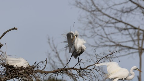 Great Egret Bringing Stick to Nest