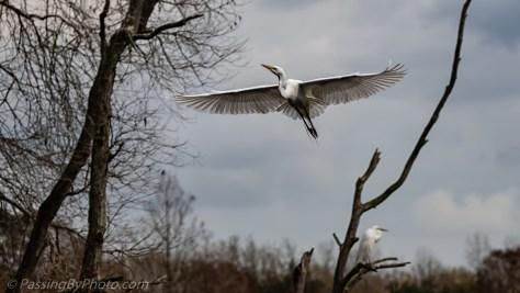 Great Egret Tree Approach