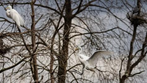 Great Egret Tree Landing