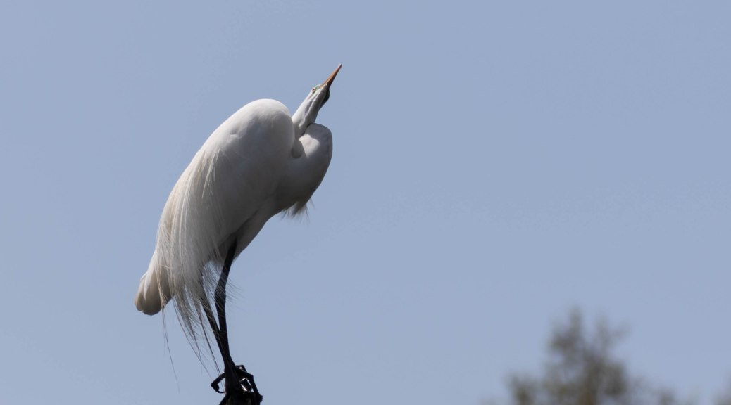 Great Egret Perched on Dead Tree