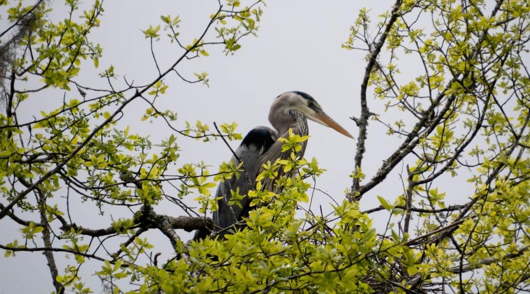 Great Blue Heron Nest Duty