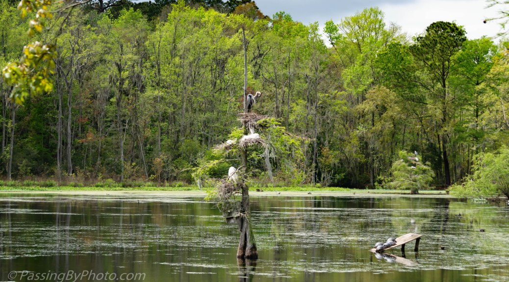 Skinny Tree with GBH and Great Egret Nests