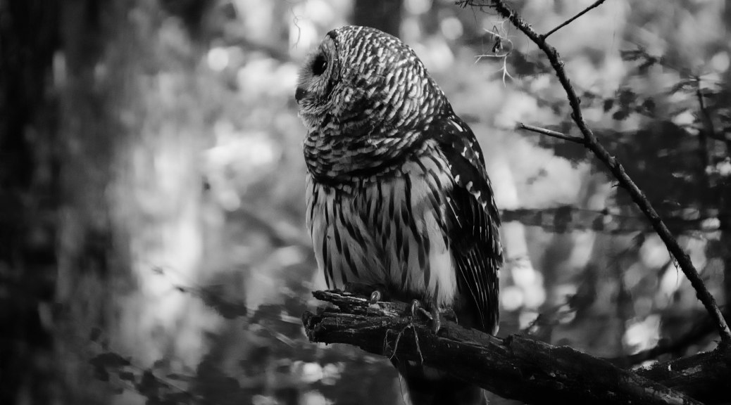Barred Owl, Black and White