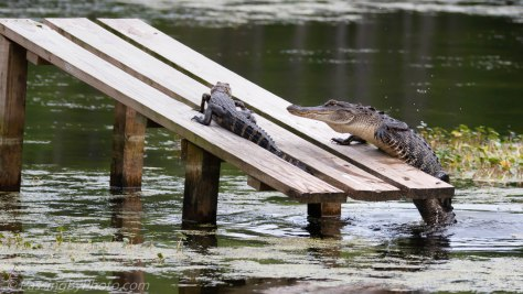 Alligator Climbing Onto Ramp