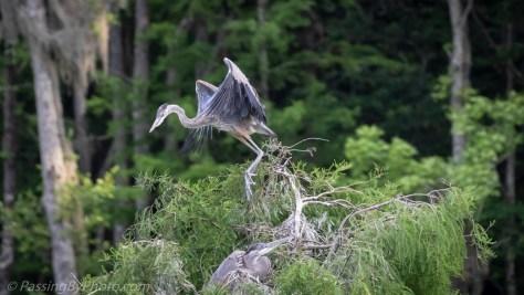 Great Blue Heron Chick Test Flight