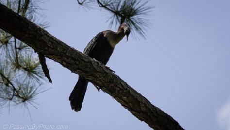 Anhinga Overhead