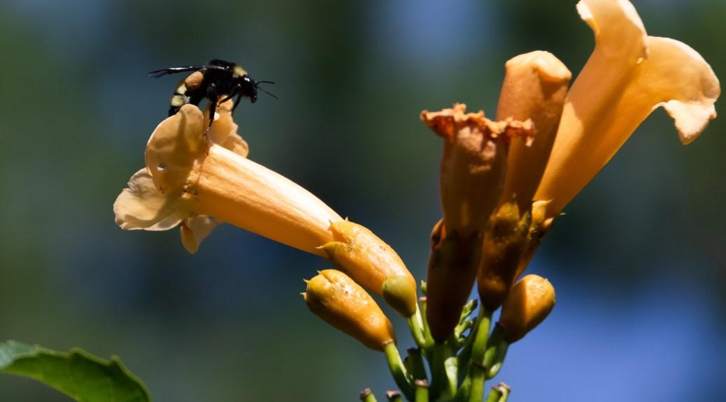 Bee On Trumpet Vine Flower