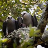 Mississippi Kite Pair Feeding