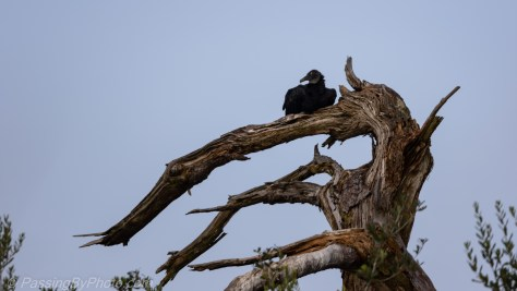 Black Vulture Laying on Branch