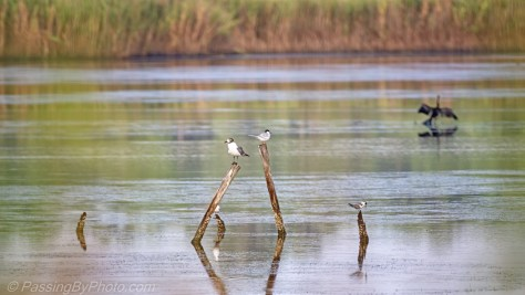Shore Birds on Posts, Anhinga in Background