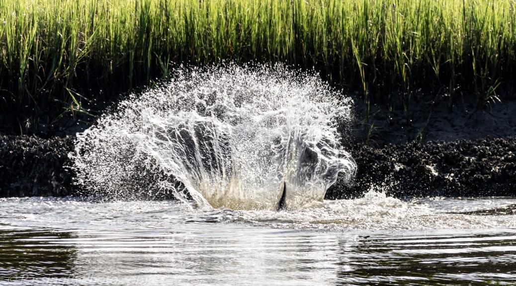 Dolphin Splashing Water in Creek