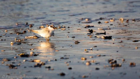 Tern Chick at the Shore