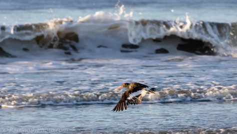 American Oystercatcher in Flight