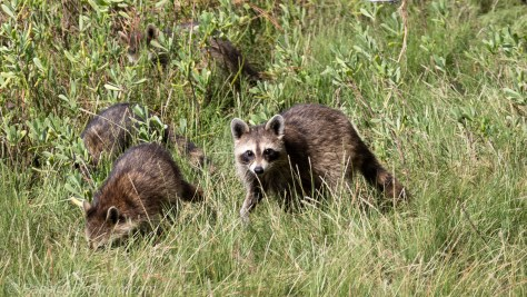 Raccoons in Marsh Grass