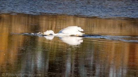 Fishing White Pelican