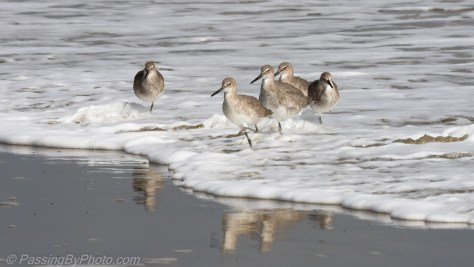 Willets in the Surf