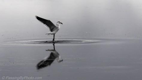 Gull Ballet