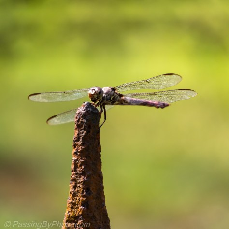 Dragonfly on Fence Post