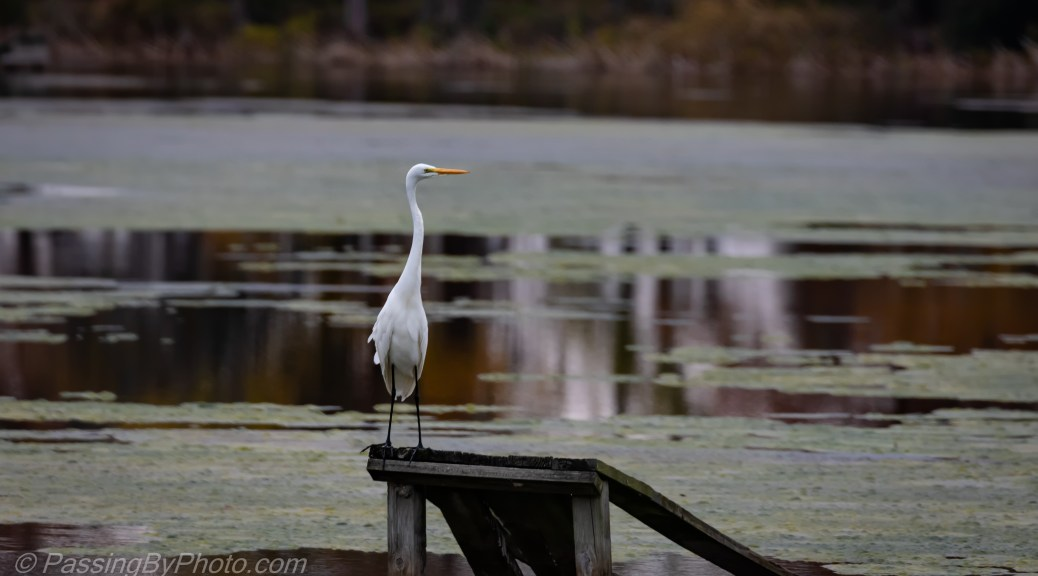 Great Egret Standing Tall