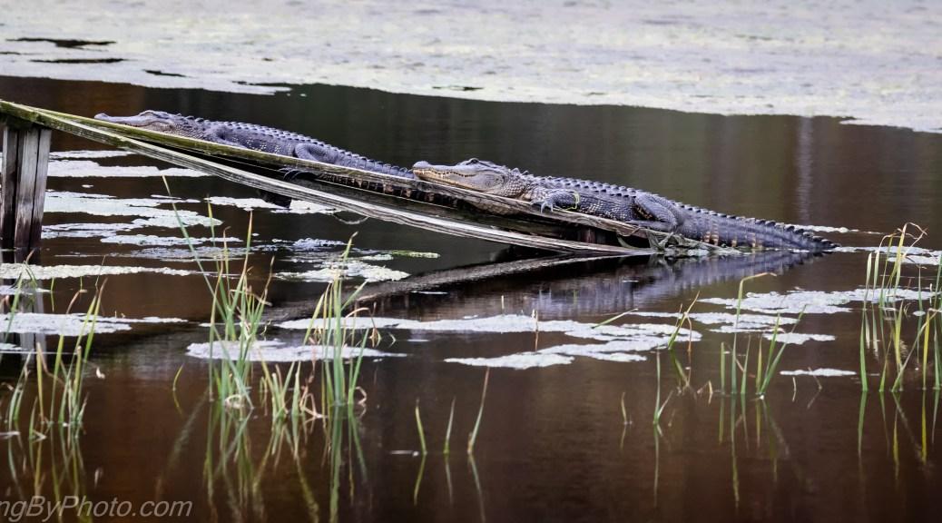 Two Alligators on Ramp
