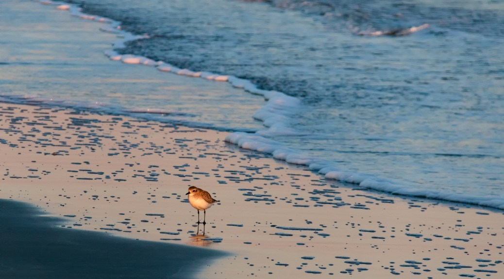Plover in the Surf