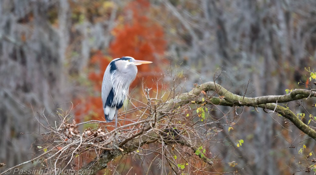Great Blue Heron, Fall Blaze