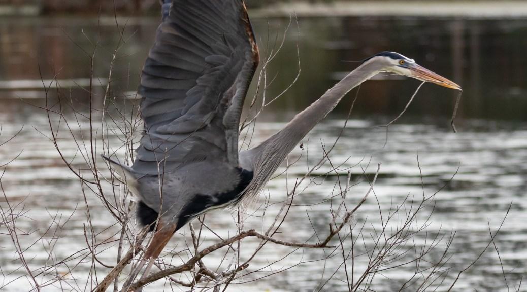 Great Blue Heron Stick Gathering