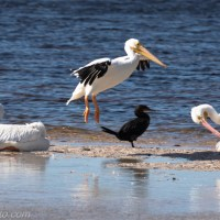 American White Pelican Coming In