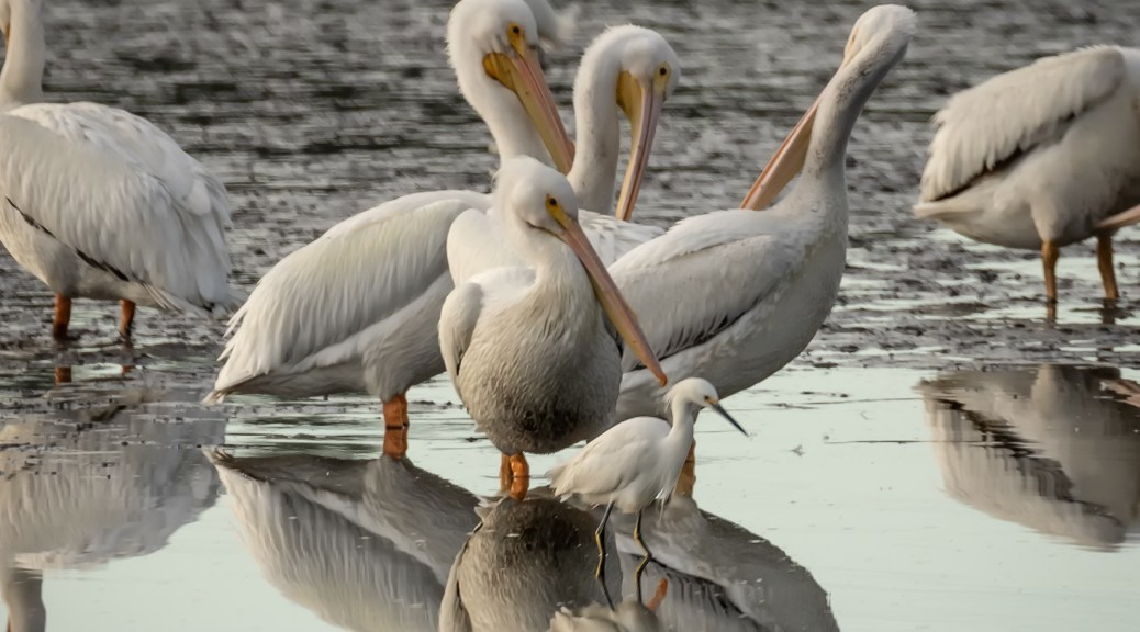 American White Pelicans and Snowy Egret