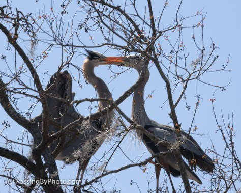 Great Blue Heron Pair Beak Smacking