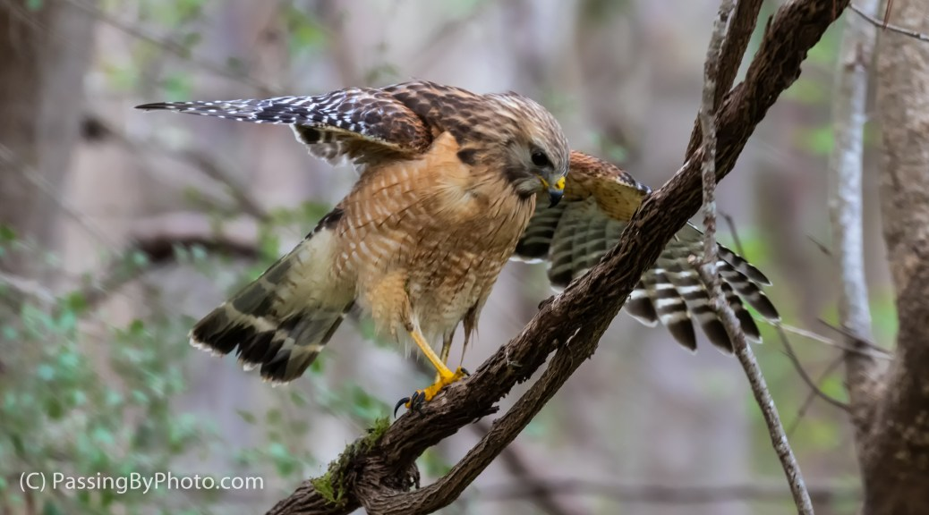 Red-shouldered Hawk, Wings Out