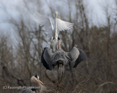 Great Egret Driven Off By GBH