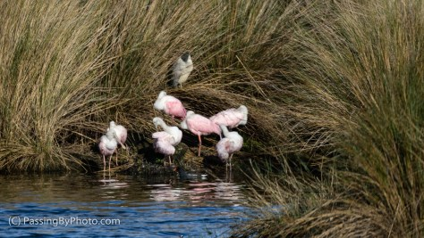 Roseate Spoonbills and Black-crowned Night Heron