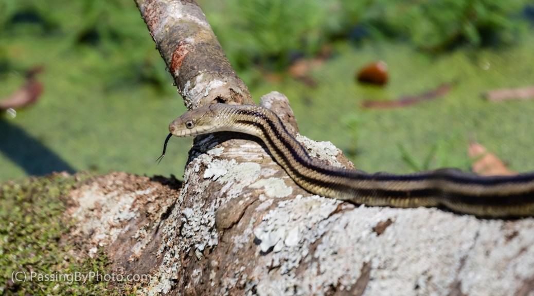Ribbon Snake on Log