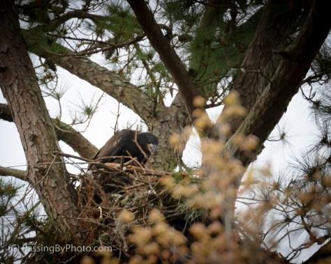 Juvenile Eagle, March 16