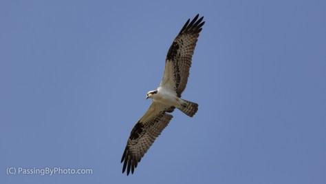 Hovering Osprey