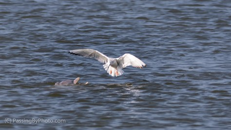 Bonaparte's Gull Fishing Around Dolphin