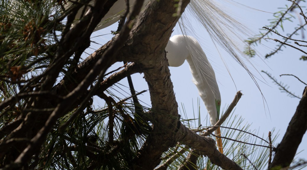 Great Egret Building Nest