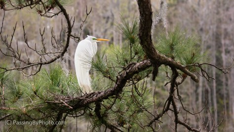 Great Egret with Nest on Pine Bough