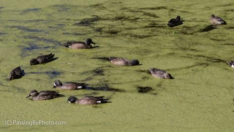Blue Winged Teals Feeding on Duckweed