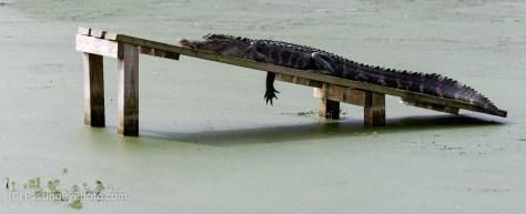 Alligator on Ramp