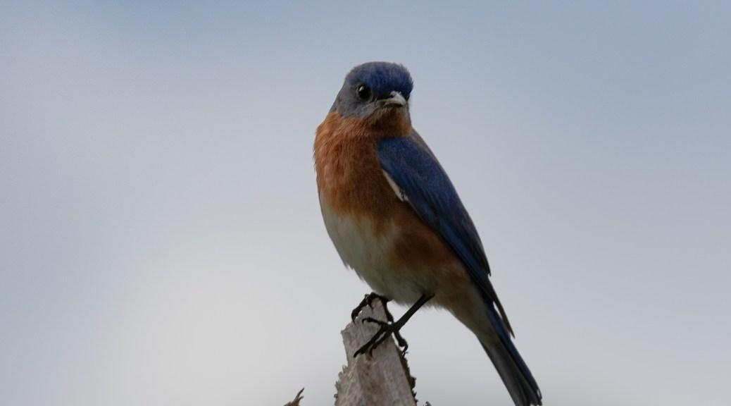 Eastern Bluebird, February 2