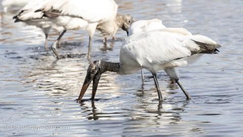 Wood Stork Feeding